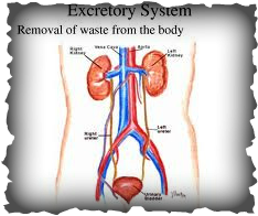 Constrictions Of Ureter together with Diagram moreover Respiratory Therapy Clip Art besides  furthermore Caracteristicas Y Funciones De Los Rinones 16860. on excretory system diseases